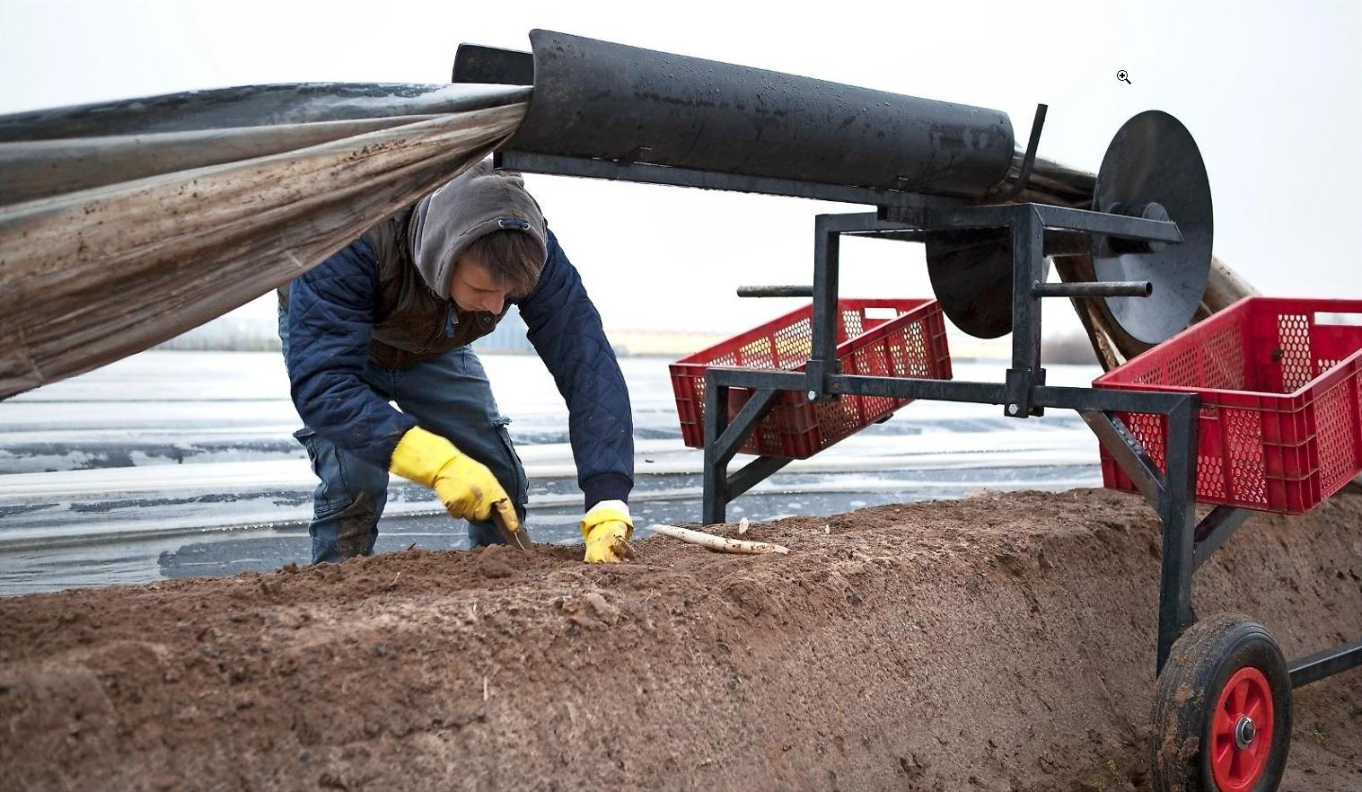 Het steken van asperges is tijdelijk werk. Minister Wouter Koolmees wil flexwerk fors duurder maken.